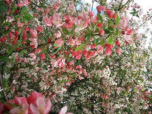 floribunda2