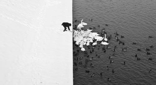 B&W_ducks