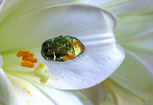 scarabe_3