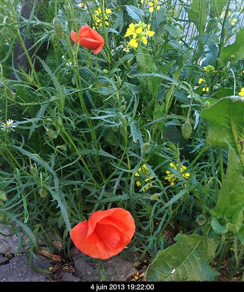 coquelicots_A