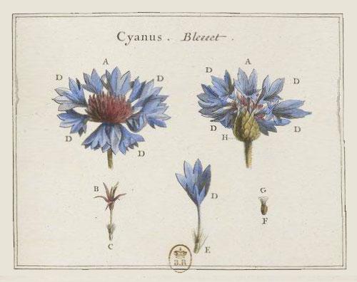 Bleuets-gallica