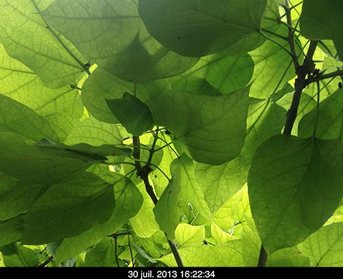 feuilles-vertes