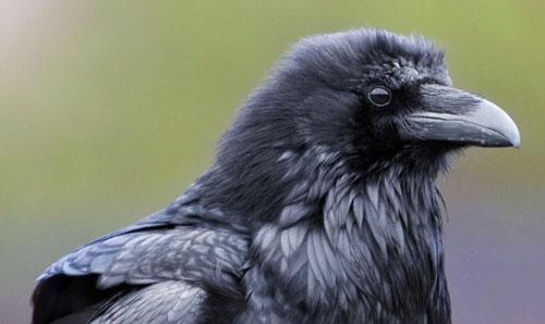 corbeau_perroquet-monochrome
