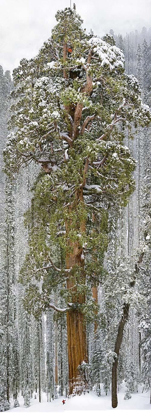 sequoia_B_244